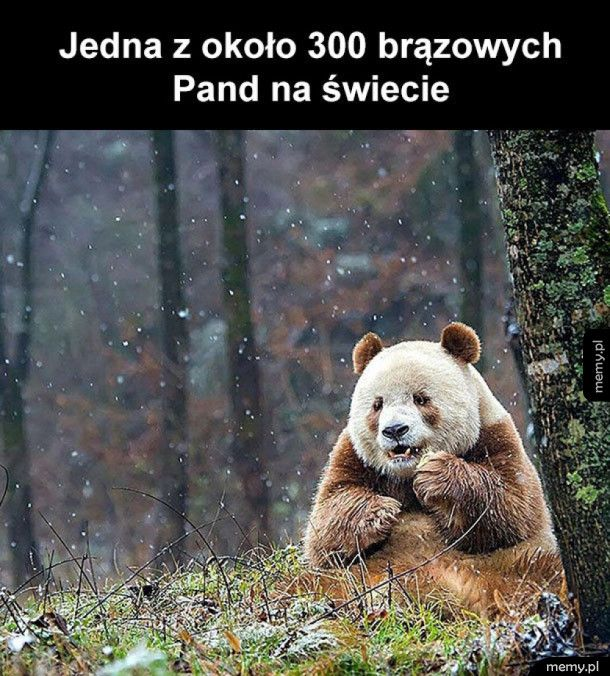 Rzadko spotykana panda