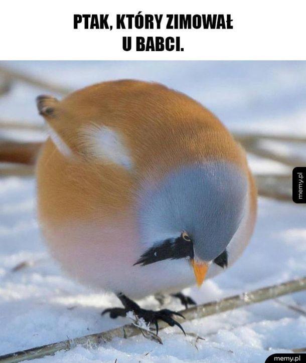 Ptak grubasek