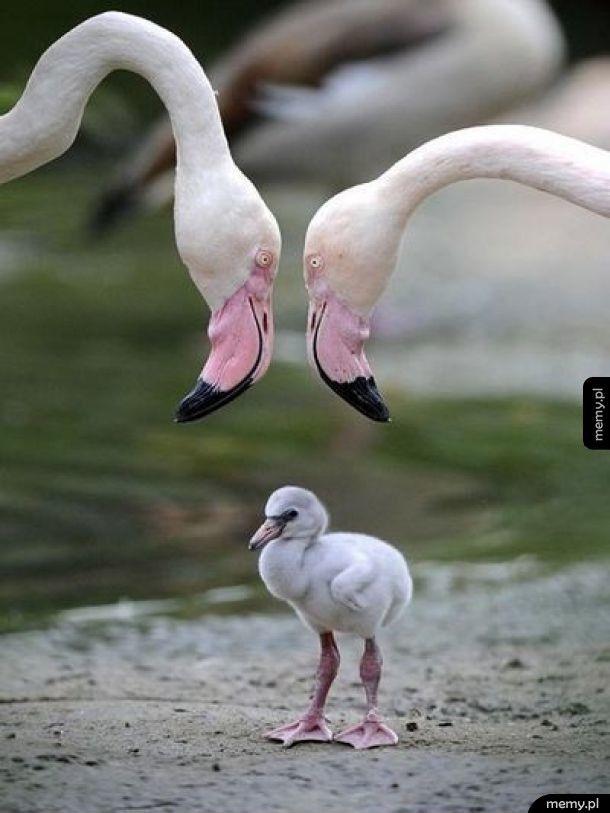 Tak wyglądam mały flamingo