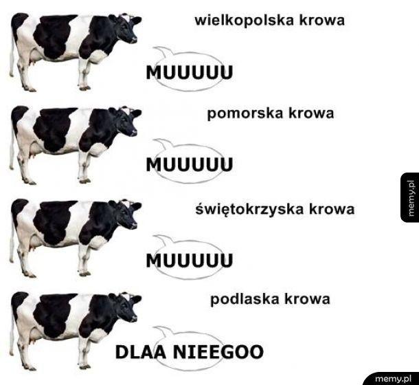 Podlaska krowa
