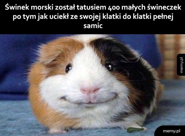 Słodka świnka
