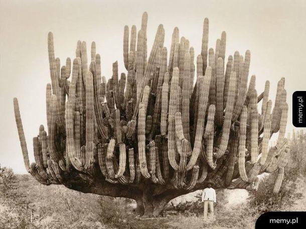 Mężczyzna pozuje do zdjęcia z kaktusem rok 1895