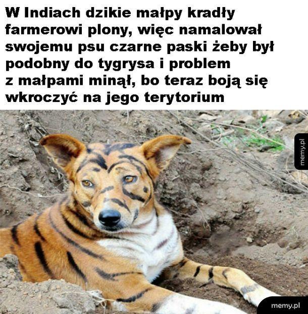 Jak pies został tygrysem