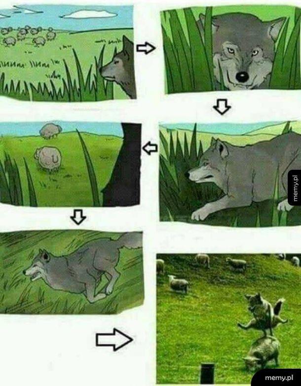 Wilk i owca