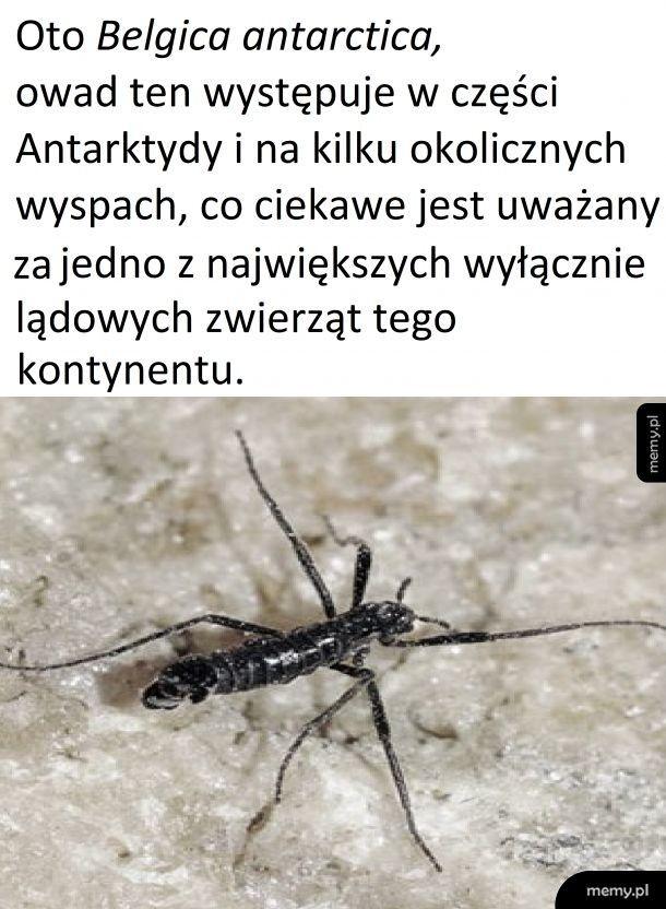 Antarktyczny owad