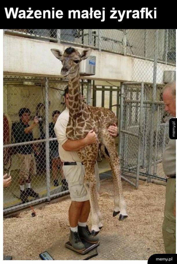 Ważenie żyrafy