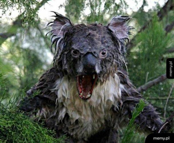 Mokry koala. Teraz widziałem już wszystko.