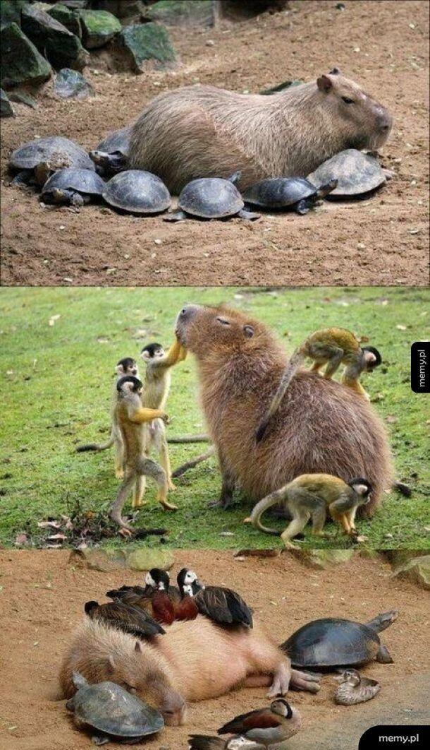 Kapibara z kumplami