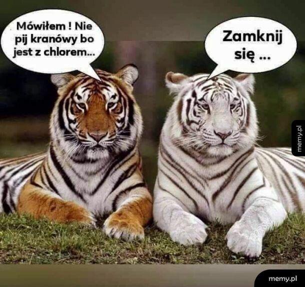 Tygrysi suchar