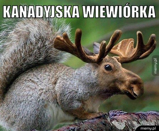 Kanadyjska wiewiórka