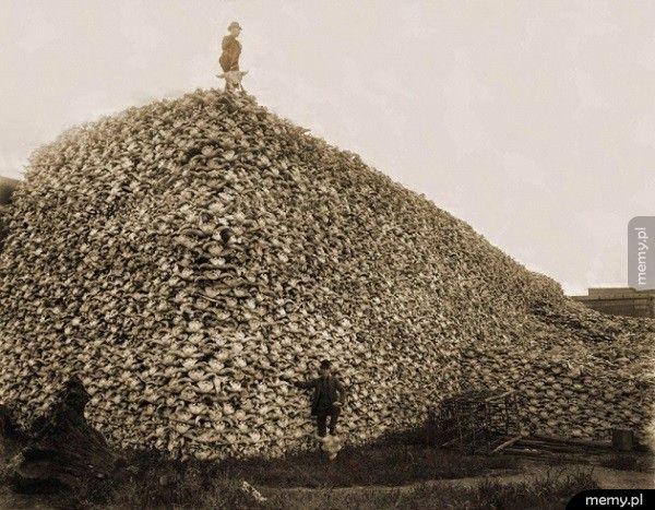 Góra czaszek bizonów