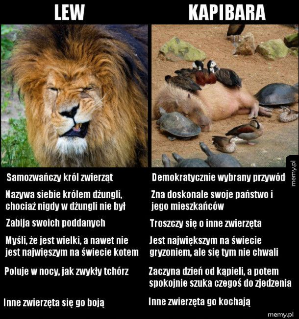Lew vs. kapibara
