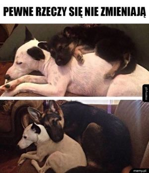 Miłość dwóch psów