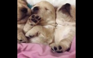 Śpiące szczeniaczki