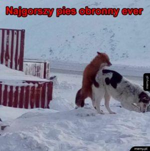 Pies obronny