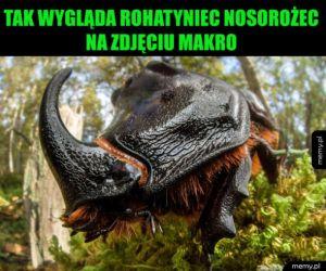 Rohatyniec nosorożec