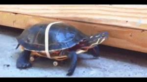 Żółwie też mogą być szybkie