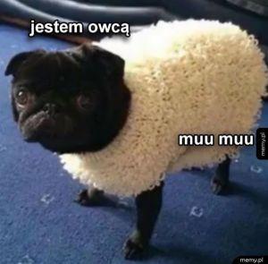 Pieseł nie wie jak robi owca