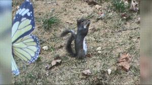 Ta wiewiórka musi jeść naprawdę dobre orzechy
