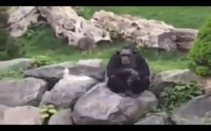 Szympans w niemieckim zoo