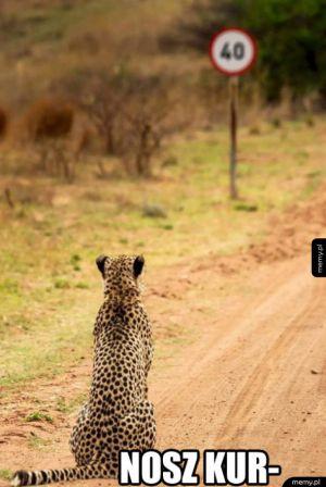 Smutny gepard