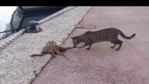 Kot vs ośmiornica