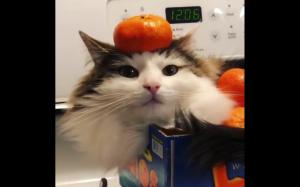 Kot w skrzynce z pomarańczami