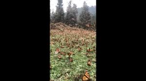 Miliony motyli