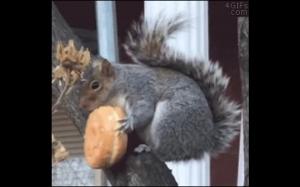 Amerykańska wiewiórka