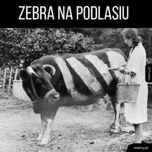 Zebra na Podlasiu