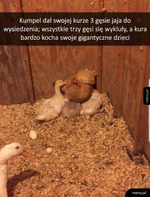 Kura kocha swoje przybrane dzieci