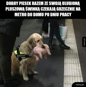 Pies przewodnik czy coś