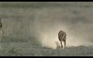 Gepardy używają ogona do utrzymania równowagi podczas skręcania