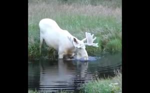 Biały łoś - Szwecja
