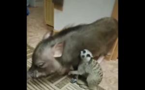Timon i Pumbaa