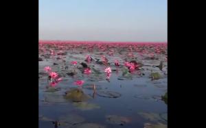 Czerwone lotosy w Tajlandii