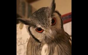 Niesamowita mimika sowy