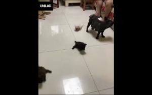 Pieski próbują chodzić po śliskiej podłodze