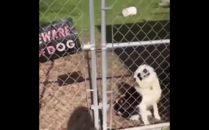 Uwaga zły pies
