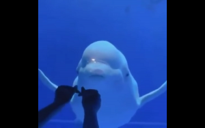 Beluga oszalała