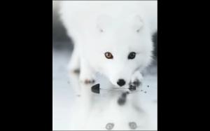 Piękny, biały lis