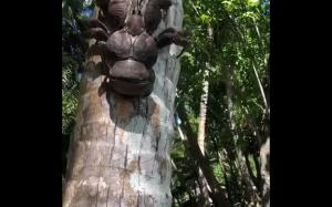 Krab gigant