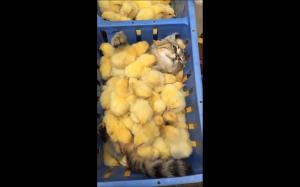 Po prostu sobie leżę z kurczakami