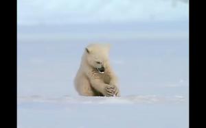 Zaskoczony miś polarny