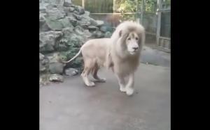 Przerażenie lwa
