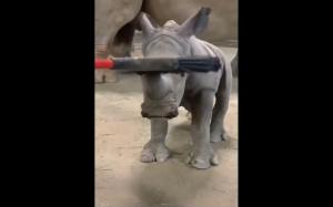 Mały nosorożec lubi się czesać