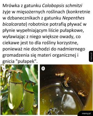 Mrówki i dzbanecznik