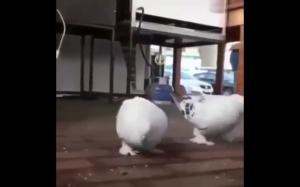 Backflip w wykonaniu gołębia