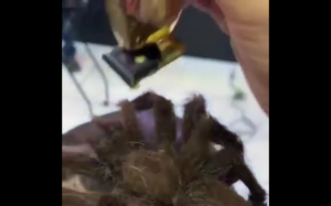 Tarantula na głowie