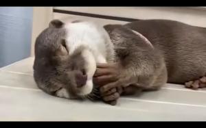 Śpiąca wydra